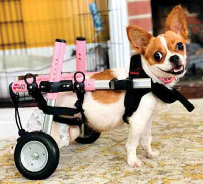 Featured in this year's calendar is Harriet, a badly injured Chihuahua who suffered a broken pelvis and severe neurological damage after being hit by a car. Despite her challenges and injuries, Harriet's spirit remains unbroken and her determination to re
