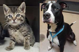 Ashton is a curious 8-week-old female cat. She is ready to steal your heart! Jaxx is a fun-loving pup that is ready for a family and a home.  He is a one-year-old neutered